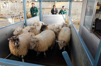 multiple sheep being weighed